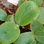 Cucurbita pepo Leaf
