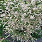 Salix integra