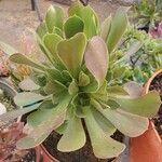Aeonium arboreum Leaf