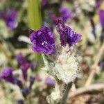 Echium sabulicola