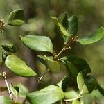 Eugenia hypargyrea