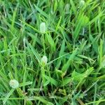 Cyperus sesquiflorus