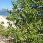 Cinnamomum camphora Leaf