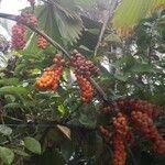 Carludovica palmata List