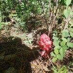 Sarcodes sanguinea Flower