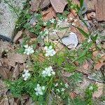 Torilis arvensis Flower