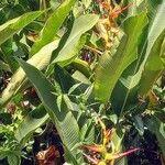 Heliconia latispatha List