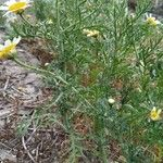 Argyranthemum filifolium