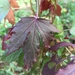 Hibiscus acetosella Leaf