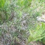 Genista aspalathoides