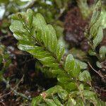 Hymenophyllum mnioides