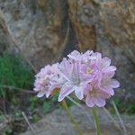 Armeria ruscinonensis