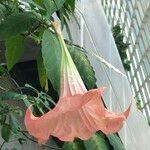 Brugmansia spp.