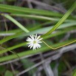 Lagenophora lanata