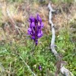 Linaria pelisseriana Virág