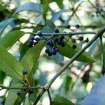 Calophyllum tacamahaca