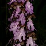Himantoglossum metlesicsianum
