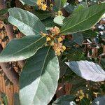 Laurus nobilis Leaf