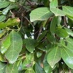 Elaeodendron buchananii