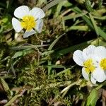 Ranunculus circinatus