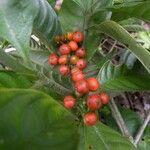 Psychotria racemosa