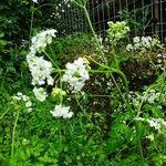 Chaerophyllum temulum Kvet