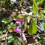 Polygala paucifolia Kvet