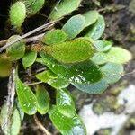 Elaphoglossum spatulatum