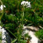 Asperula capillacea