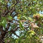 Prunus dulcis Fruit