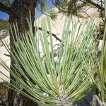 Pinus quadrifolia