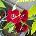 Dianthus barbatus Fleur