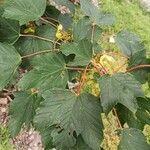 Acer pseudoplatanus Blatt
