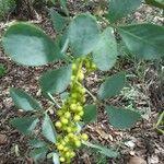 Searsia zeyheri Fruit