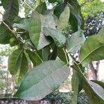 Pycnandra grandifolia 葉