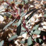 Euphorbia gayi