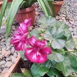 Pelargonium zonale Kvet