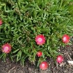 Malephora crocea Egyéb