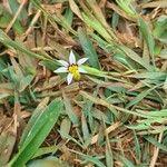 Sisyrinchium micranthum Blomma