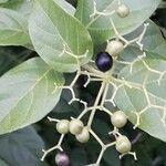 Premna serratifolia Fruit