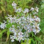 Symphyotrichum cordifolium Pflanze