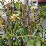 Osmanthus fragrans Pflanze