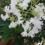 Lagerstroemia speciosa Flower