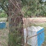 Casuarina equisetifolia Blad