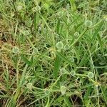 Euphorbia crotonoides