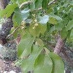 Chionanthus ramiflorus