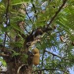Tamarindus indica Plod