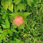 Hibiscus phoeniceus