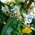 Solanum umbellatum