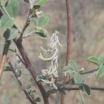 Indigofera oblongifolia